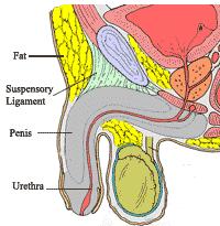 Penile Lengthening